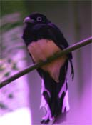 Trogon with UV false color overlay